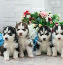 ΑΝΤΑΛΛΑΚΤΙΚΑ! Υπόσχονται κουτάβια Husky! 😘🐾💞