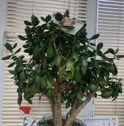 Δέντρο χρήματος