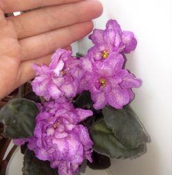Violet frunze