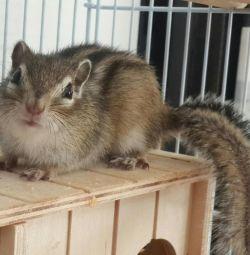 Chipmunks acasă în creștere.