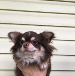 Chihuahua mascul pentru reproducere