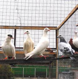 Porumbei - poștali și călugări