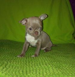 Boy Chihuahua