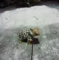 Knitting Yorkshire Terrier Mini