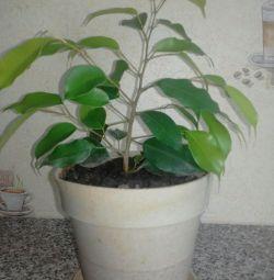 Ficus ve dracaena.