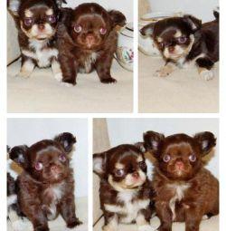 Chocolate Chihuahua Puppies