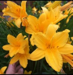 Daylilies, chrysanthemums, aquilegia and others garden flowers