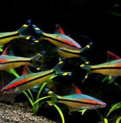 Akvaryum balıkları Barbus Denisoni.
