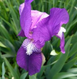 Vindem iris (floare)