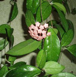 Hoya (wax ivy).