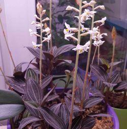 Orhideea din Ludice