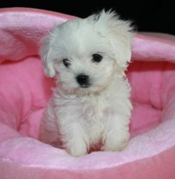 maltese  puppies /  Μαλτέζ μίνι (Maltese mini)