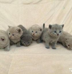 Малыши британские котятки