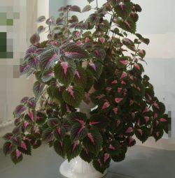Indoor flower. Present. Coleus
