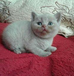 Şeftali yavru kedi ve açık kahverengi.