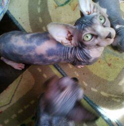 Sphynx yavru kedi