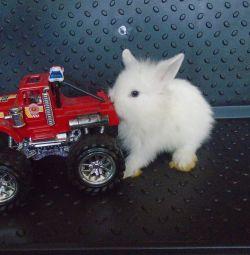 cüce tavşanı