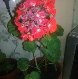 Pelargonium (γεράνι)