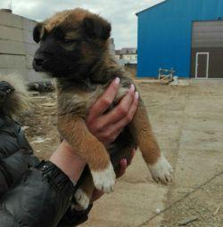 Puppy, boy, 1.5 months.