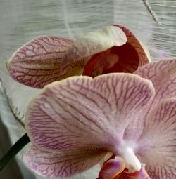 Orchid αρχική ανθοφορία phalaenopsis