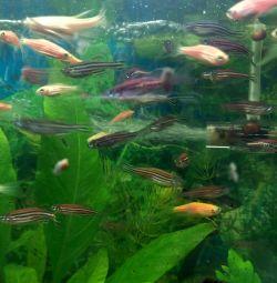 Рыбки аквариумные данио- рерио розовые