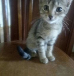 Mouse kitten