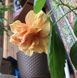 Hibiscus și Zefiraje