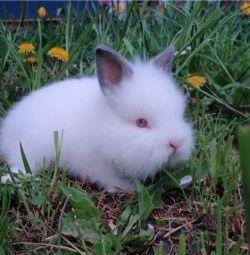карликовий кролик