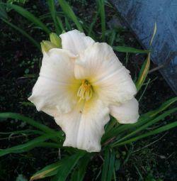 Лилейник жовтий торочкуватий