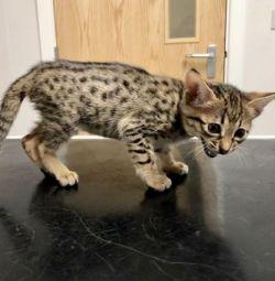 Чарівні бенгальські кошенята на продаж