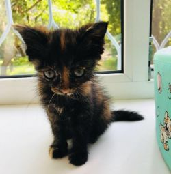 Kitten is dark-torty