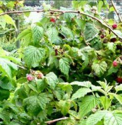 Φυτά σμέουρων. Φυτά φραουλών