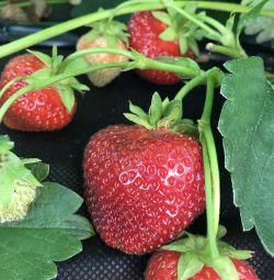 Căpșuni congelate (sorbet de căpșuni)