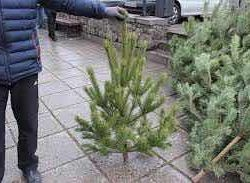 Fir-trees are more artificial and live
