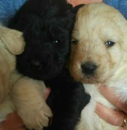 Lovely Labradoodle puppies for free adoption