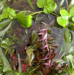 Plante de acvariu pelvisul complet