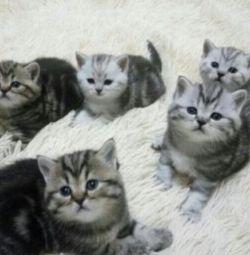 Шотландські прямоухие мармурові кошенята