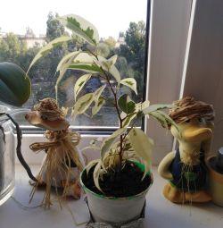 Ficus Benjamin (kids)