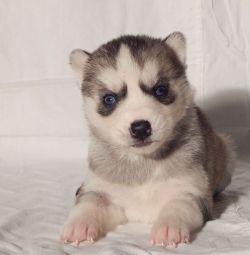 Σιβηρίας Husky