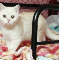 ШОТЛАНДСЬКА прямоухие котята