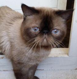 Το δάγκωμα με ένα εξωτικό εξωτικό για ένα γατάκι μόνο