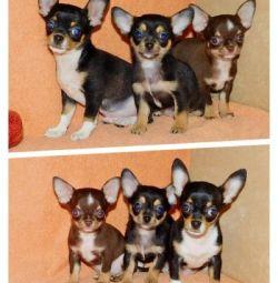 Симпатичные щенки чихуахуа