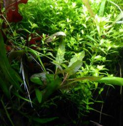 Plante acvariu