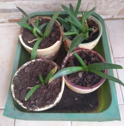 Aloe with a pot (for 4 pcs)