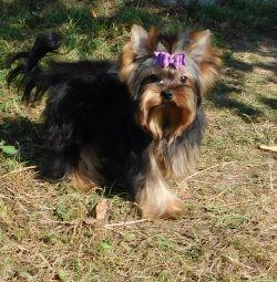 Nikushka-Mini Yorkie girl