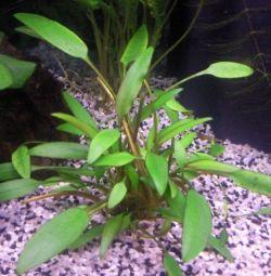 Аквариумное растение Криптокорина Шриланка