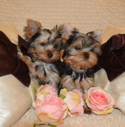 Safkan Yorkshire Terrier Cuties