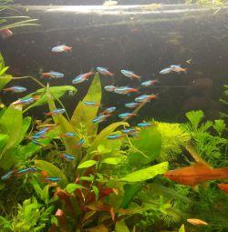 Рыбки неоны голубые, тернеции карамельки, данио