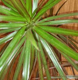 Palma Dracaena