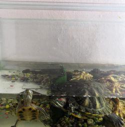 Rubella turtles
